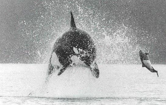 Orcas Environment Alaska