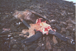 Great White Shark Diet   Great White Sharks Environment Alaska