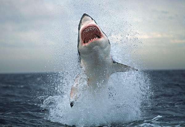 Great White Sharks - Environment Alaska